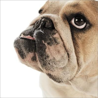 Kylie the Bulldog